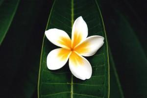 frangipani-gallery1693